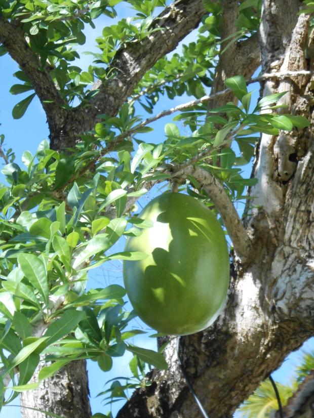 Calabash Tree Grenada 2