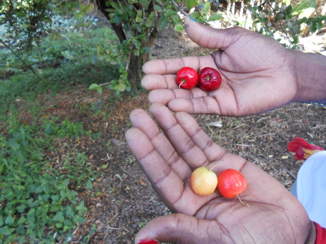 Ceris Fruit Grenada 1