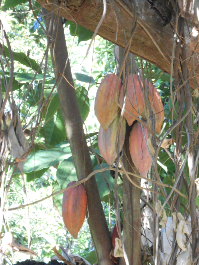 Cocoa Bean Tree 2