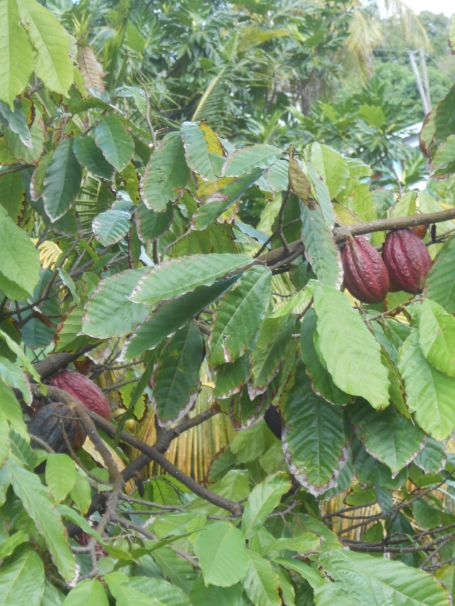 Cocoa Bean Tree Grenada
