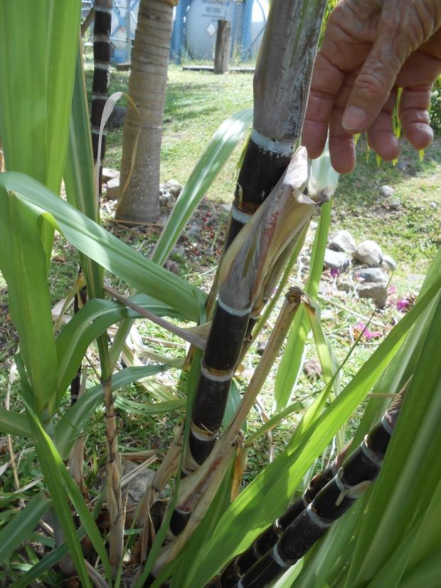 Cray Fish Sugar Cane Grenada 1