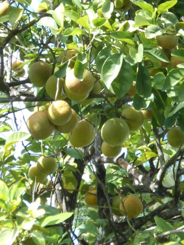 Orange Tree Grenada (2)