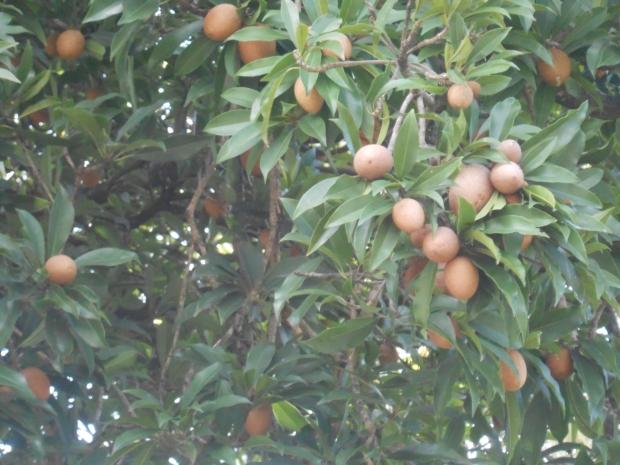 Sapadilla Tree Grenada