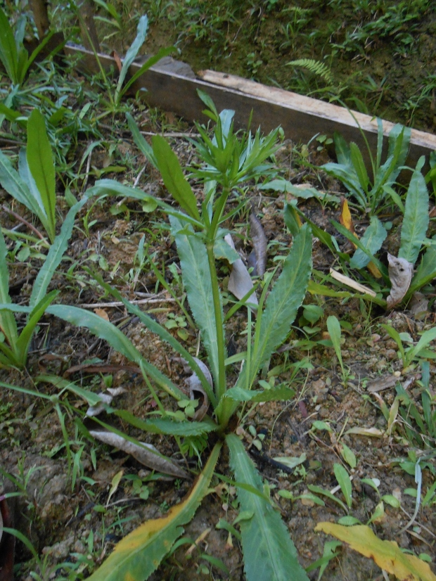 Shado Bene Plant Grenada 1