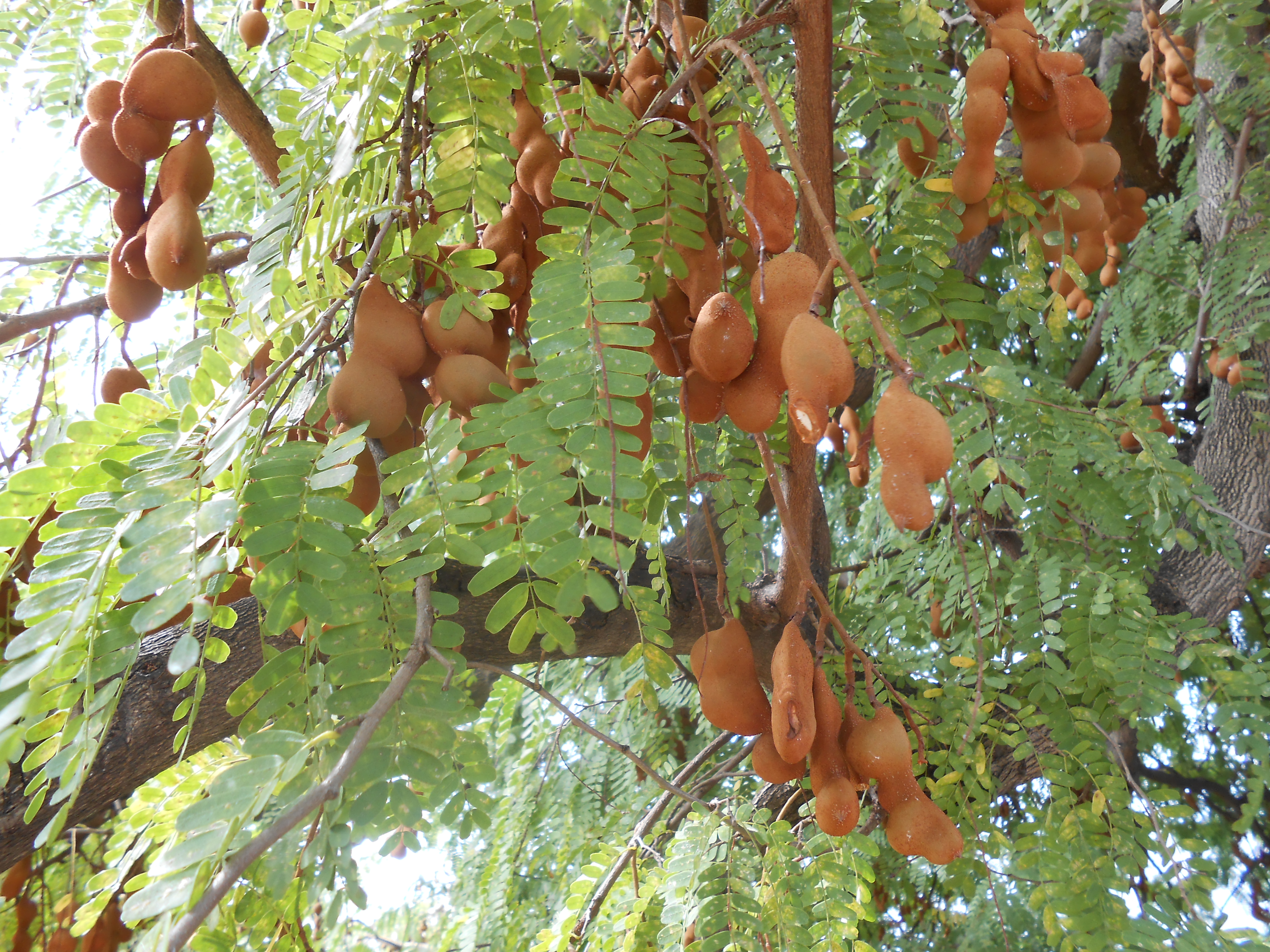 Young Tamarind Tree 1
